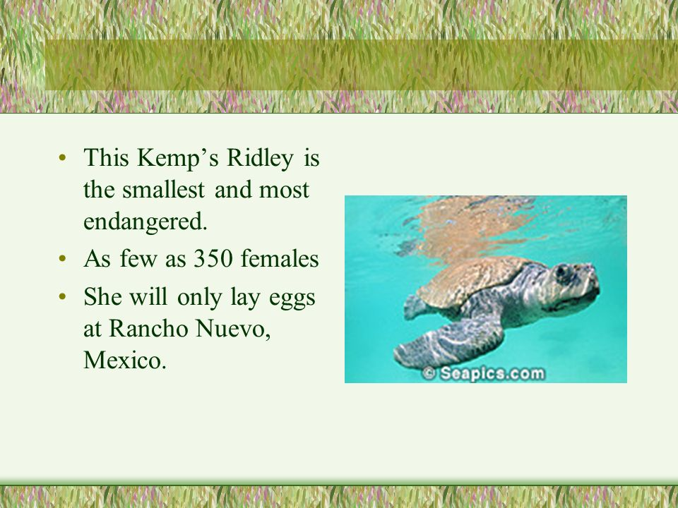 This Kemp's Ridley is the smallest and most endangered.