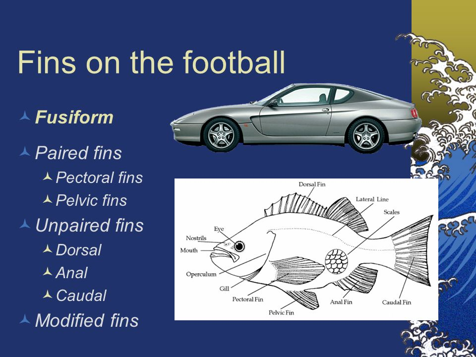 Fins on the football Fusiform Paired fins Unpaired fins Modified fins