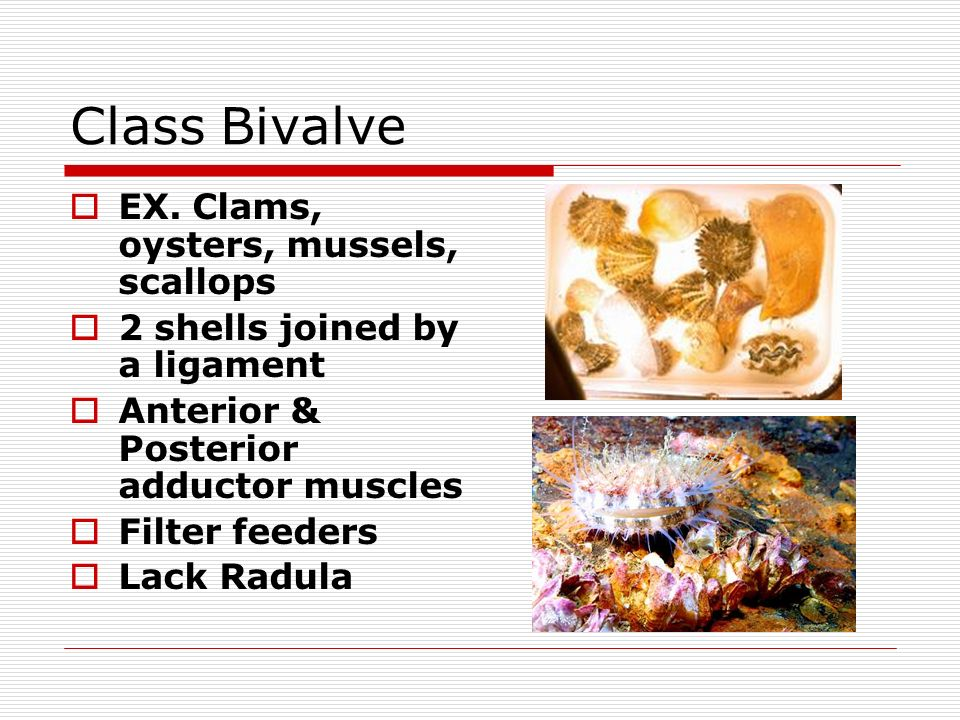 Class Bivalve EX. Clams, oysters, mussels, scallops