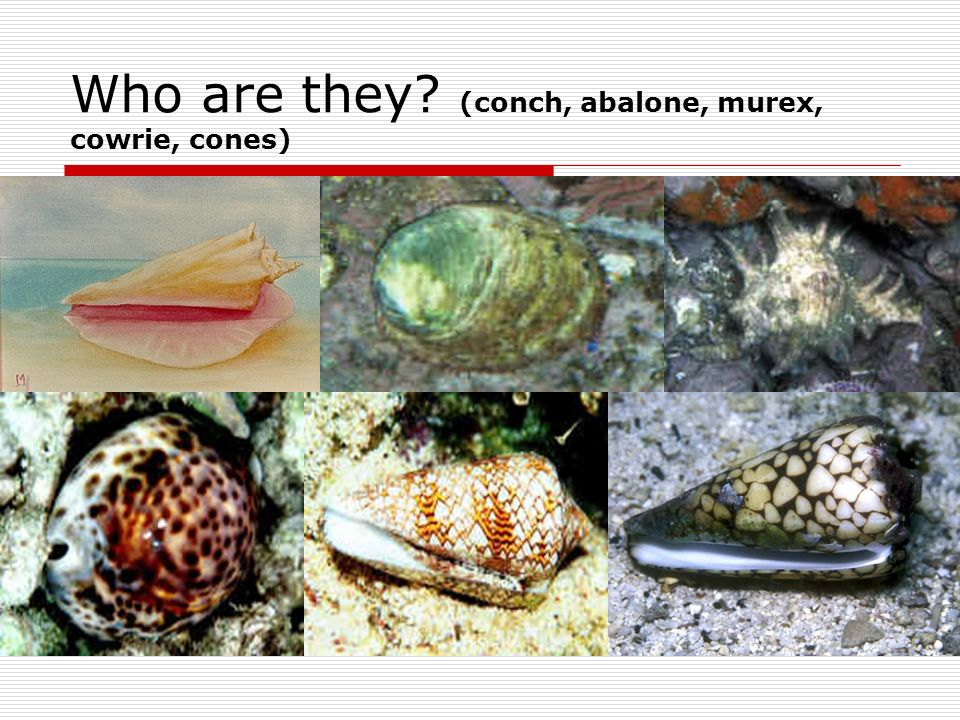 Who are they (conch, abalone, murex, cowrie, cones)