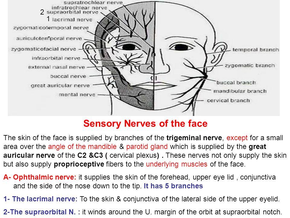 Sensory Nerves Of The Face Ppt Video Online Download