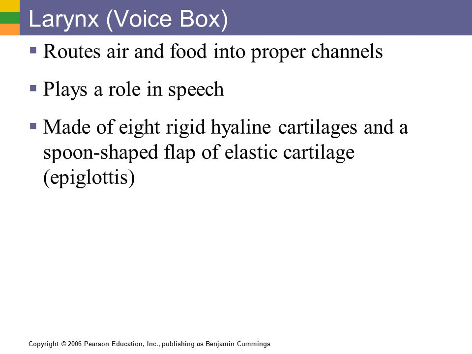 Larynx (Voice Box) Routes air and food into proper channels