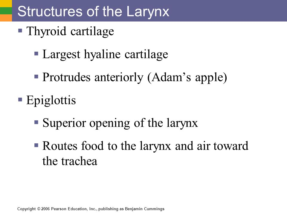Structures of the Larynx