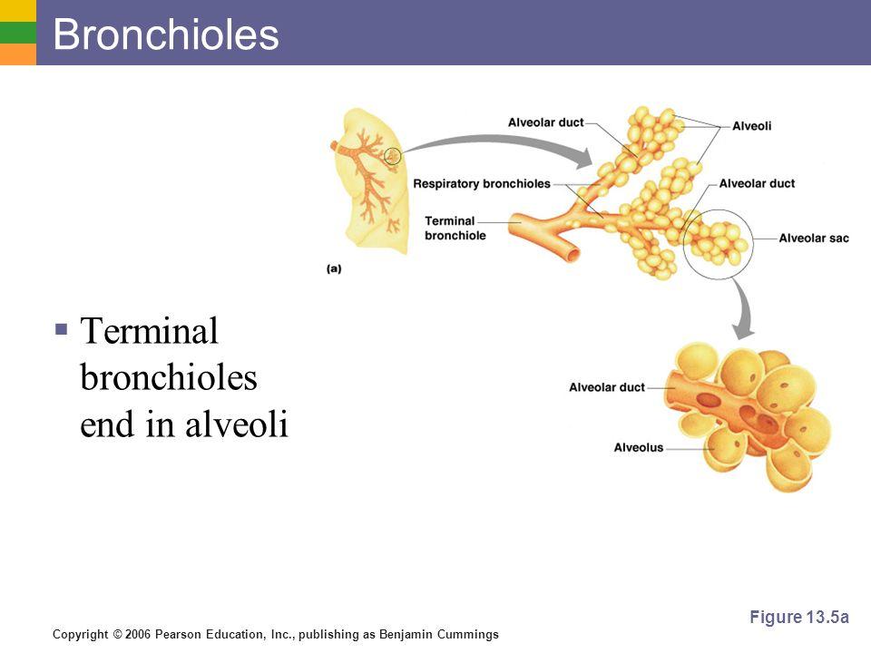 Bronchioles Terminal bronchioles end in alveoli Figure 13.5a