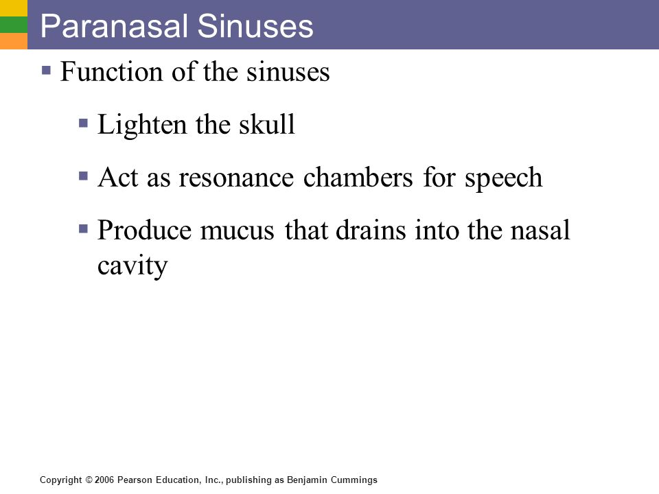 Paranasal Sinuses Function of the sinuses Lighten the skull