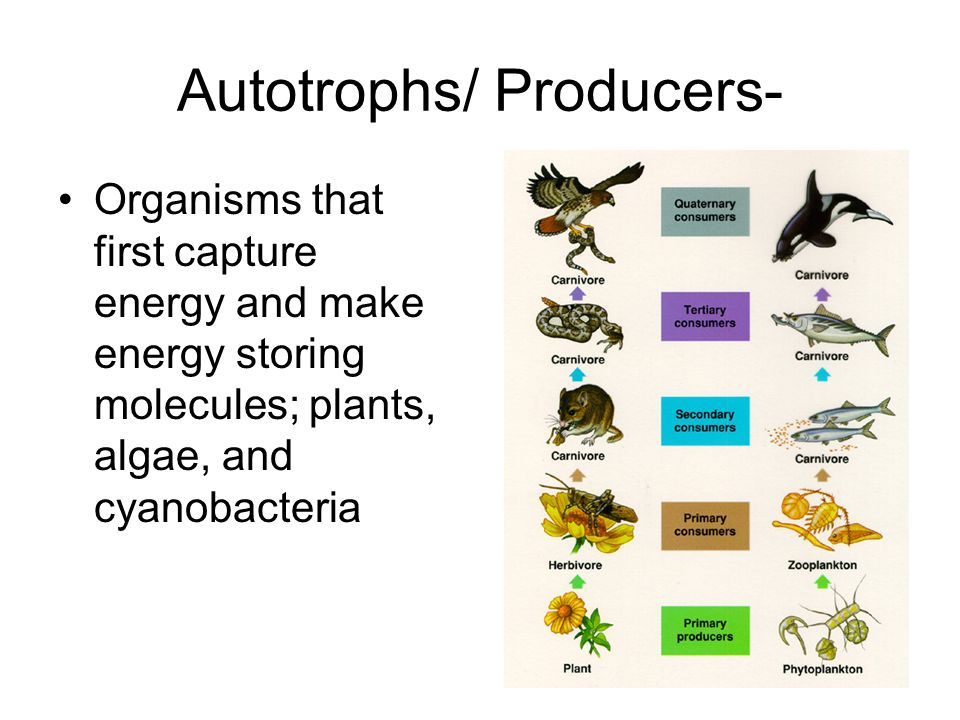 Autotrophs/ Producers-