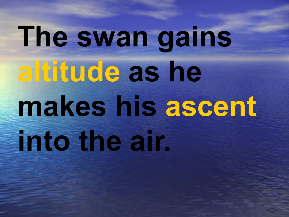 The swan gains altitude as he makes his ascent into the air.