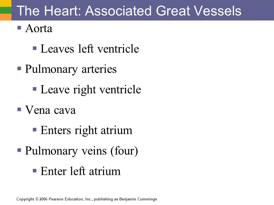 The Heart: Associated Great Vessels