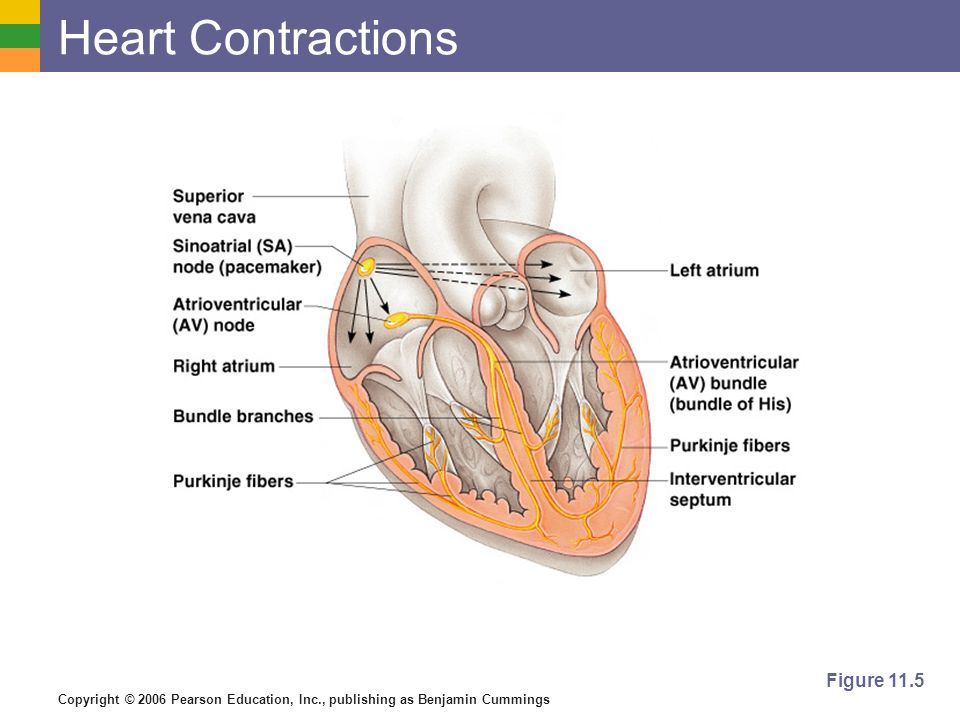 Heart Contractions Figure 11.5