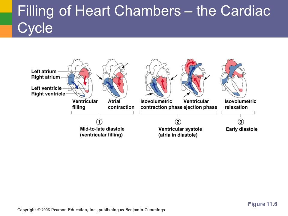 Filling of Heart Chambers – the Cardiac Cycle