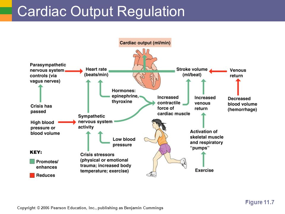 Cardiac Output Regulation