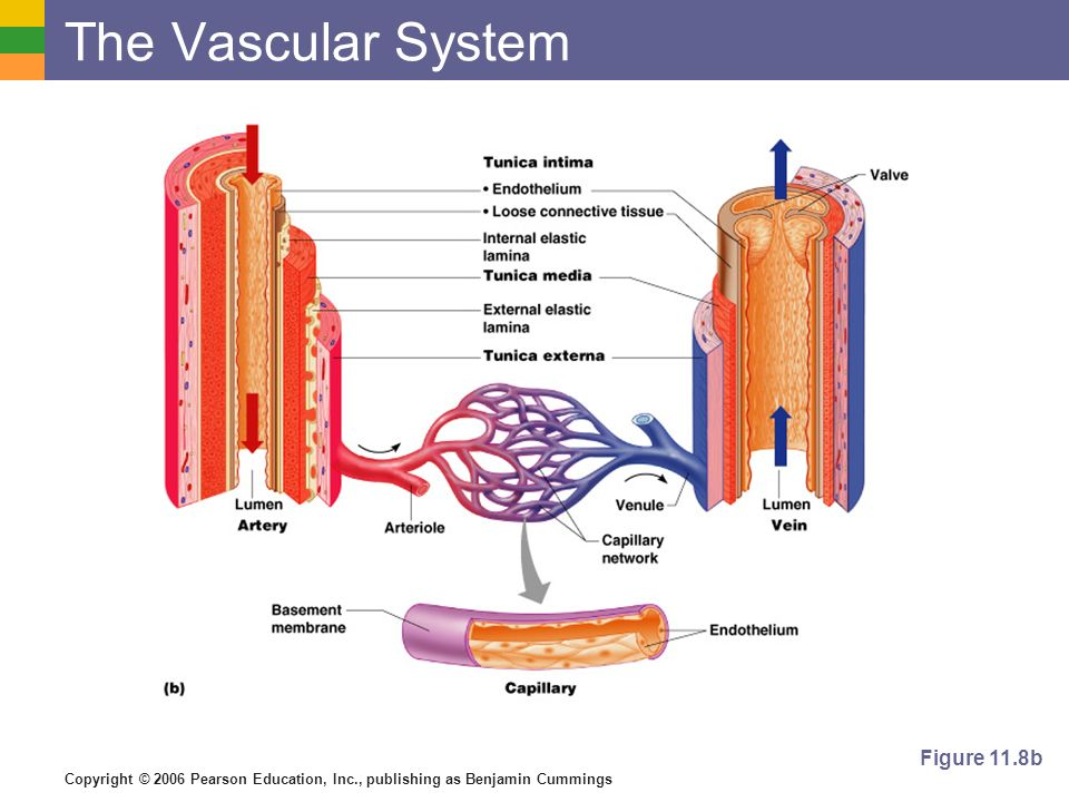 The Vascular System Figure 11.8b