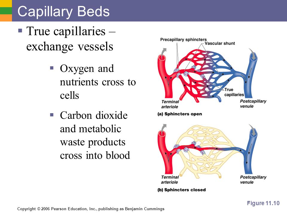 Capillary Beds True capillaries – exchange vessels