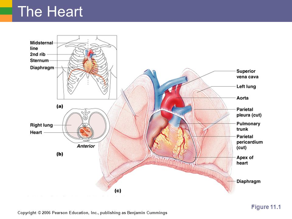 The Heart Figure 11.1
