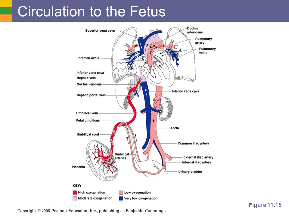 Circulation to the Fetus