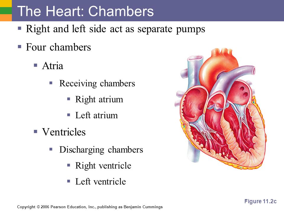 The Heart: Chambers Right and left side act as separate pumps