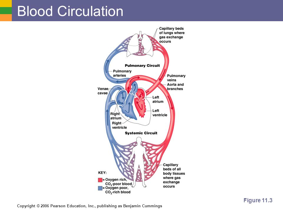 Blood Circulation Figure 11.3
