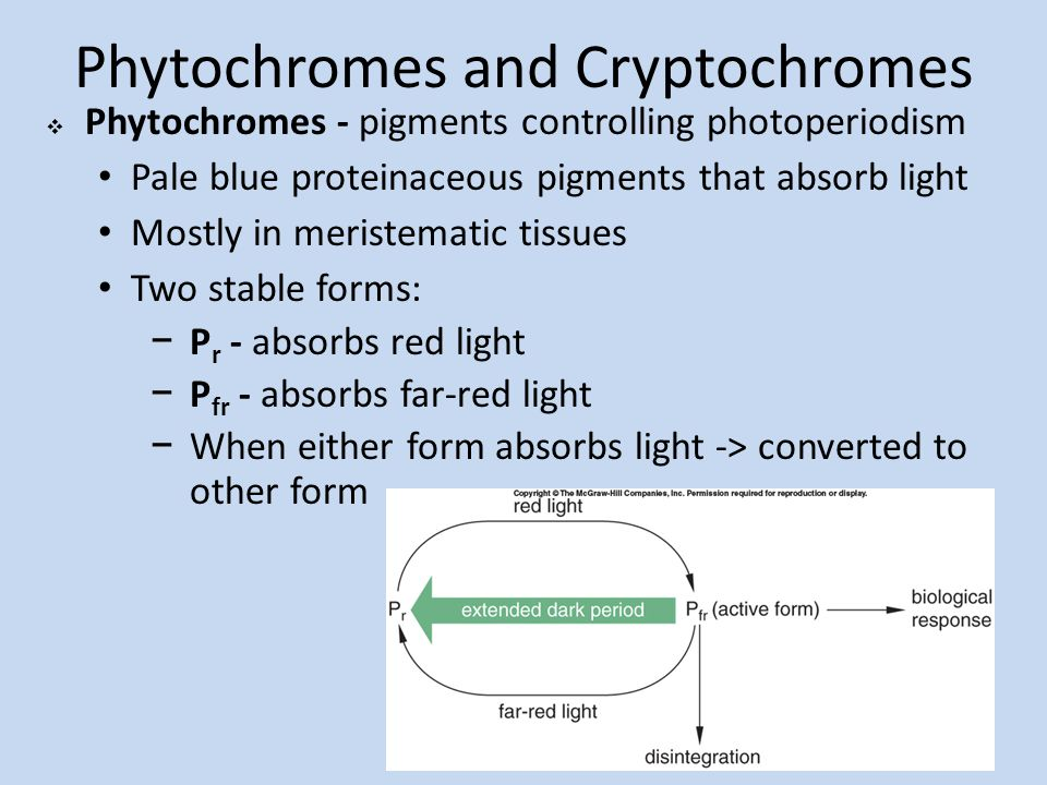 the roles of phytochromes and cryptochromes In this work, the authors record important roles for light throughout   conditional synergism between cryptochrome 1 and phytochrome b is.