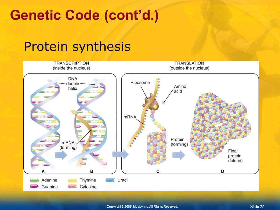 Genetic Code (cont'd.) Protein synthesis