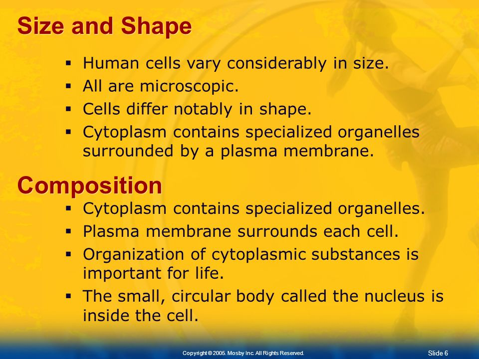 Size and Shape Composition Human cells vary considerably in size.
