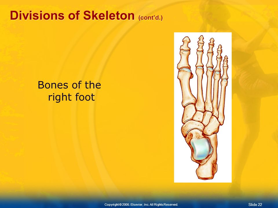 Divisions of Skeleton (cont'd.)