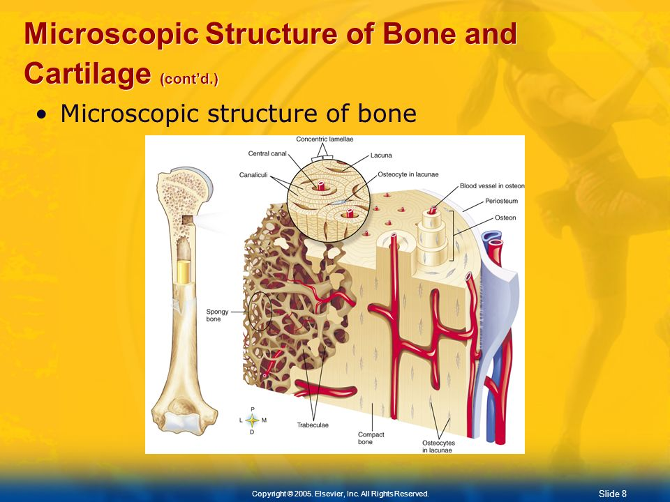 Microscopic Structure of Bone and Cartilage (cont'd.)