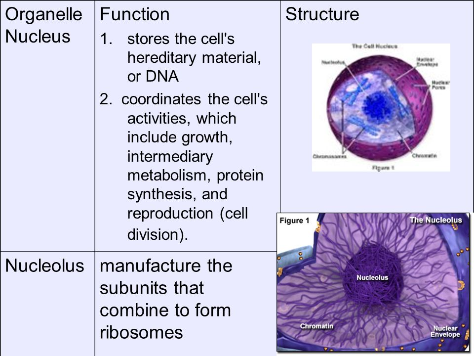 manufacture the subunits that combine to form ribosomes