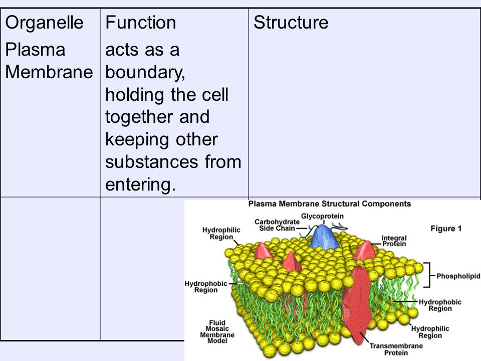 Organelle Plasma Membrane. Function. acts as a boundary, holding the cell together and keeping other substances from entering.