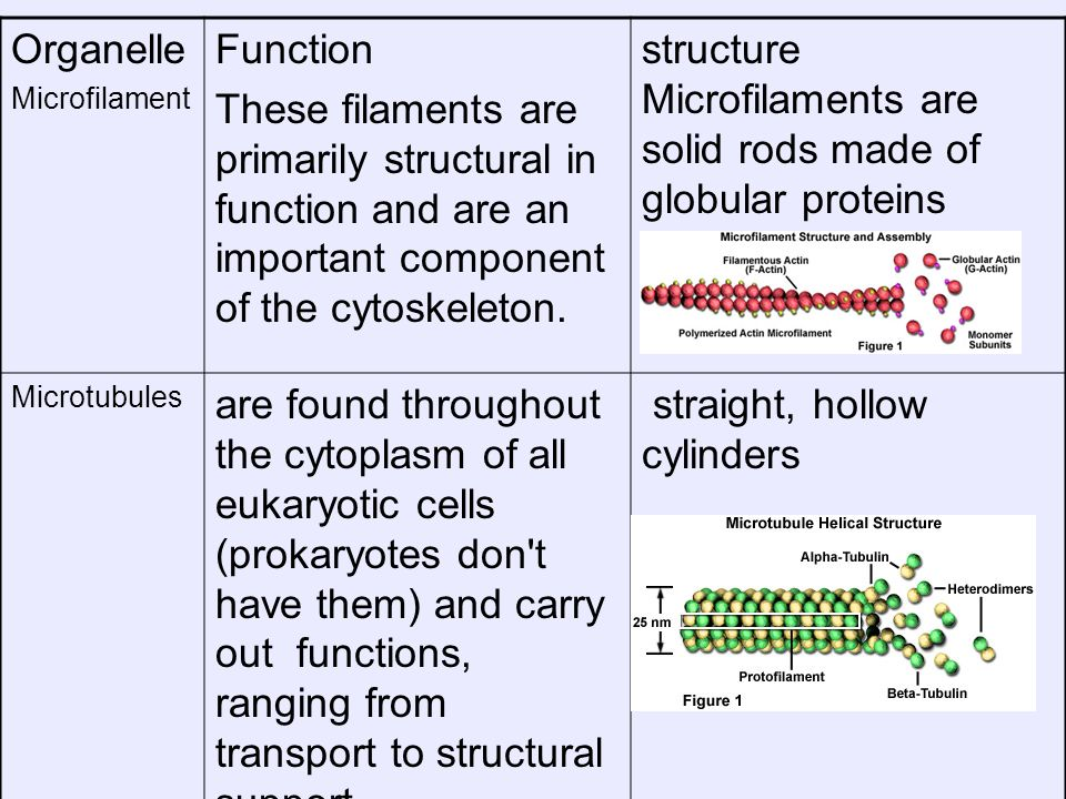 structure Microfilaments are solid rods made of globular proteins