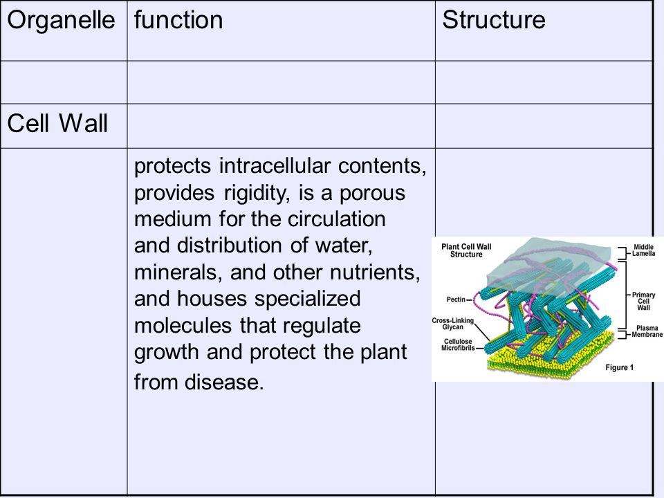 Organelle function Structure Cell Wall
