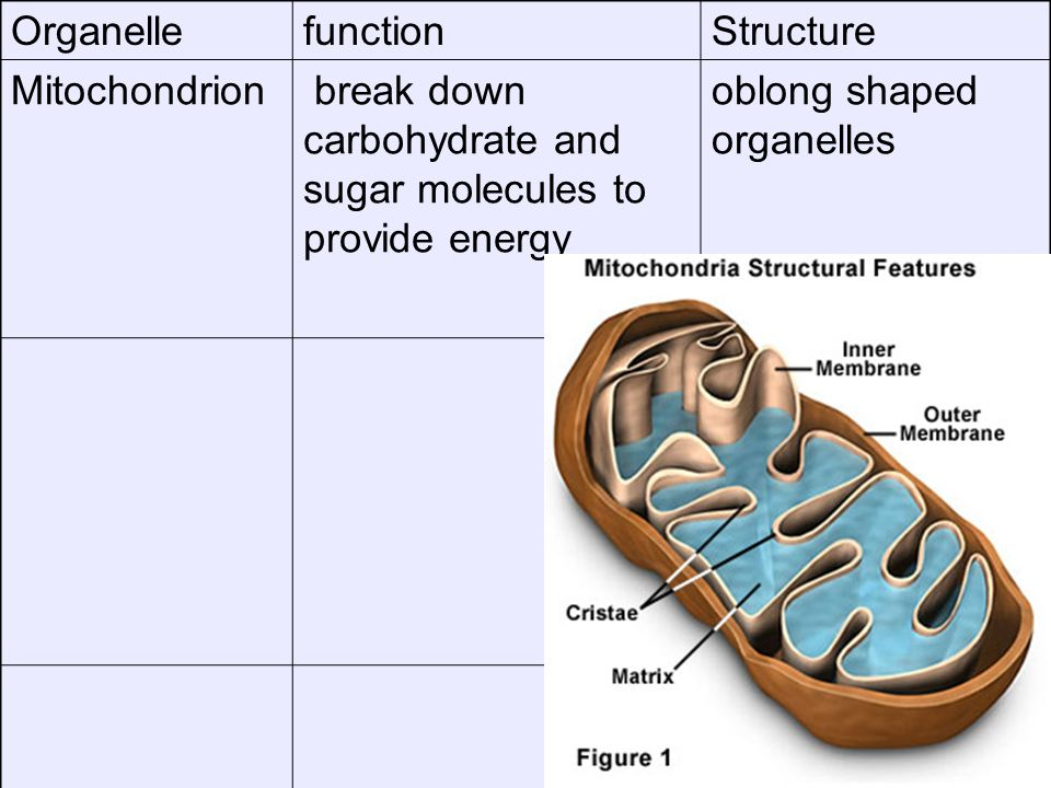 Organelle function. Structure. Mitochondrion break down carbohydrate and sugar molecules to provide energy.