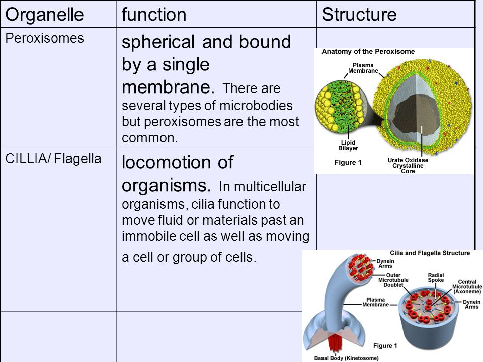 Organelle function Structure