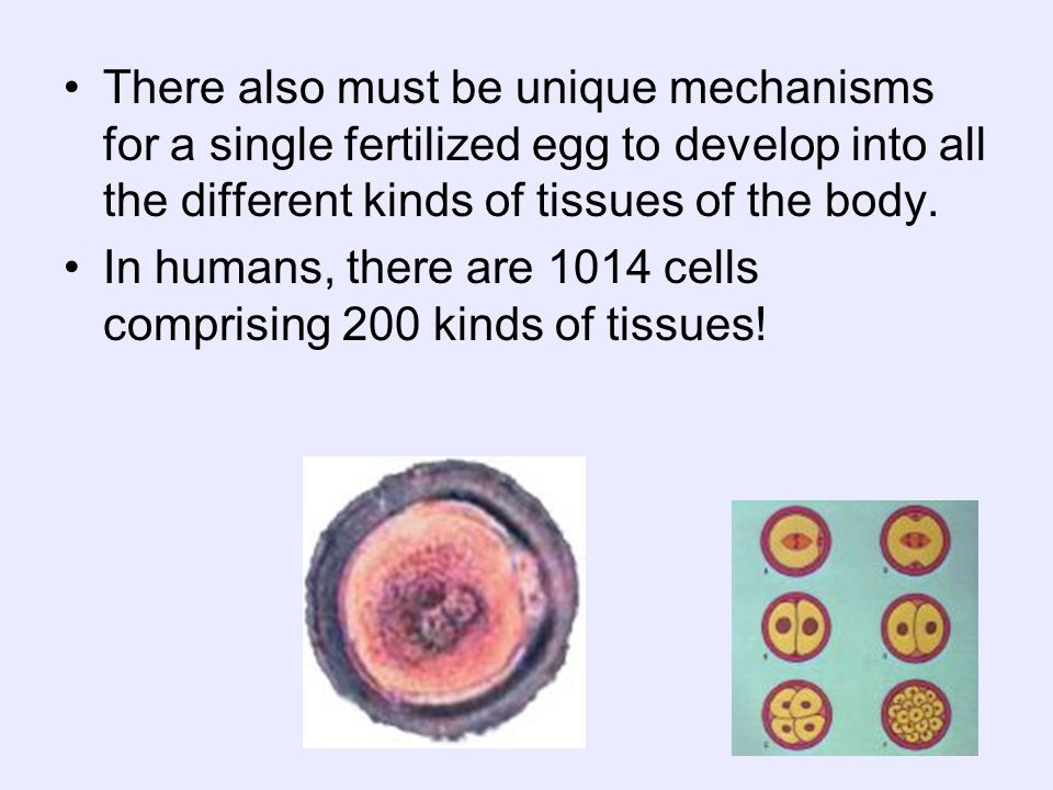 There also must be unique mechanisms for a single fertilized egg to develop into all the different kinds of tissues of the body.