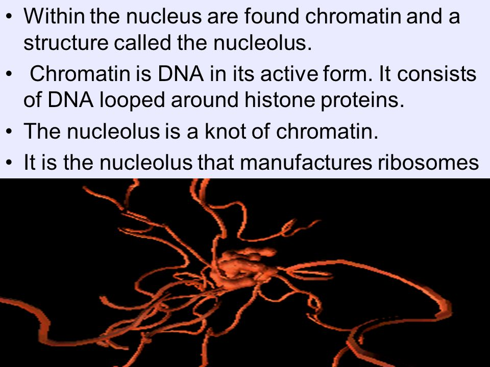 Within the nucleus are found chromatin and a structure called the nucleolus.