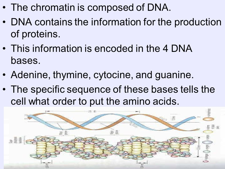 The chromatin is composed of DNA.