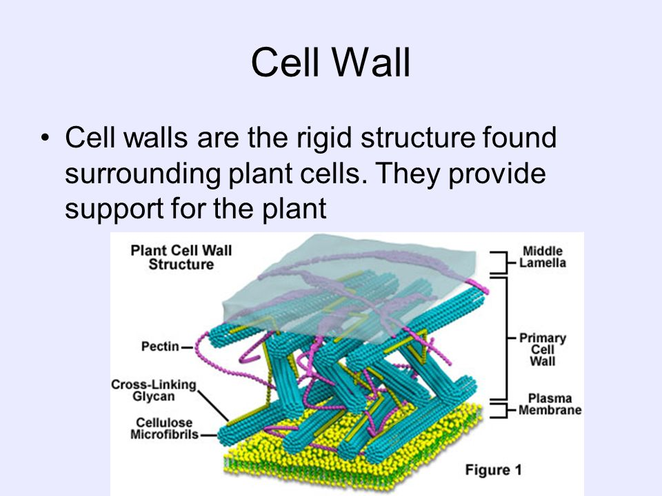 Cell WallCell walls are the rigid structure found surrounding plant cells.