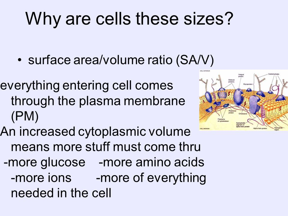 Why are cells these sizes