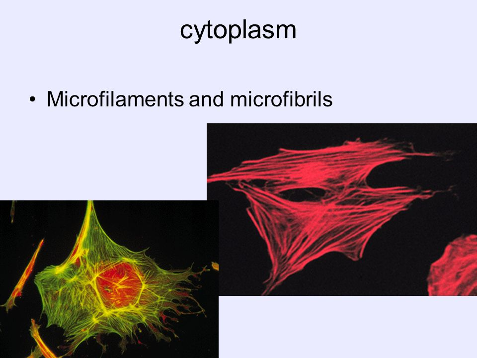 cytoplasm Microfilaments and microfibrils