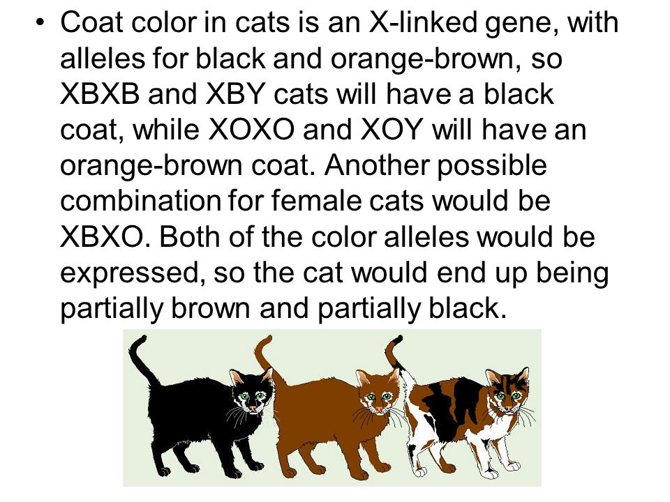 Coat color in cats is an X-linked gene, with alleles for black and orange-brown, so XBXB and XBY cats will have a black coat, while XOXO and XOY will have an orange-brown coat.