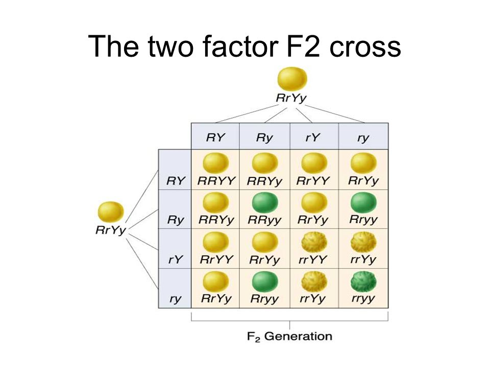 The two factor F2 cross