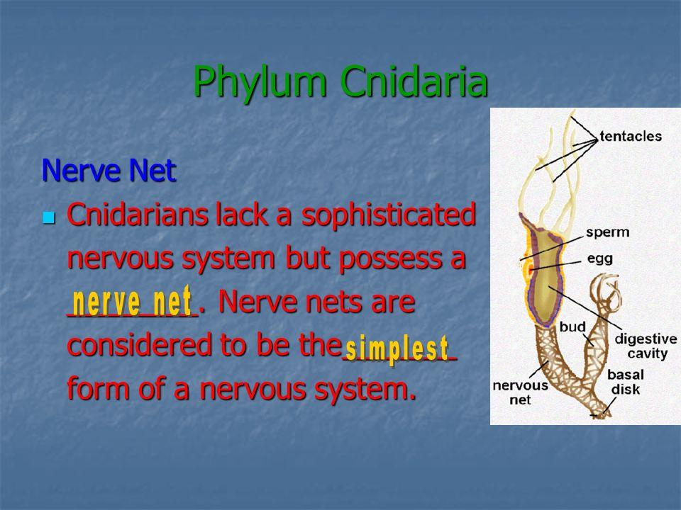 Phylum Cnidaria Nerve Net Cnidarians lack a sophisticated