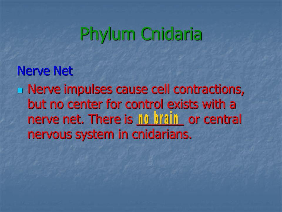 Phylum Cnidaria Nerve Net