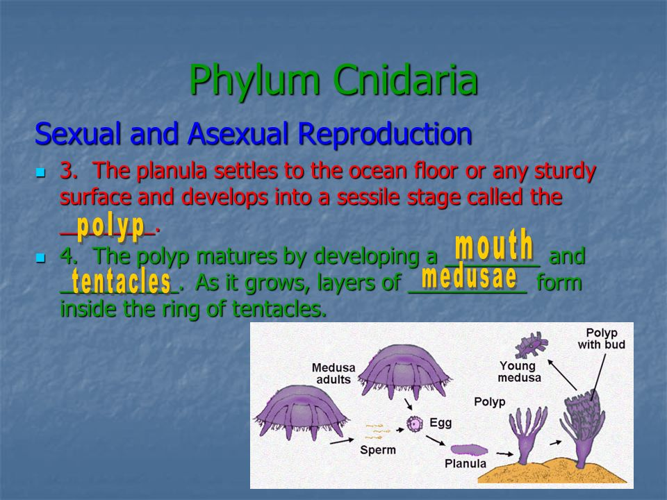 Phylum Cnidaria Sexual and Asexual Reproduction