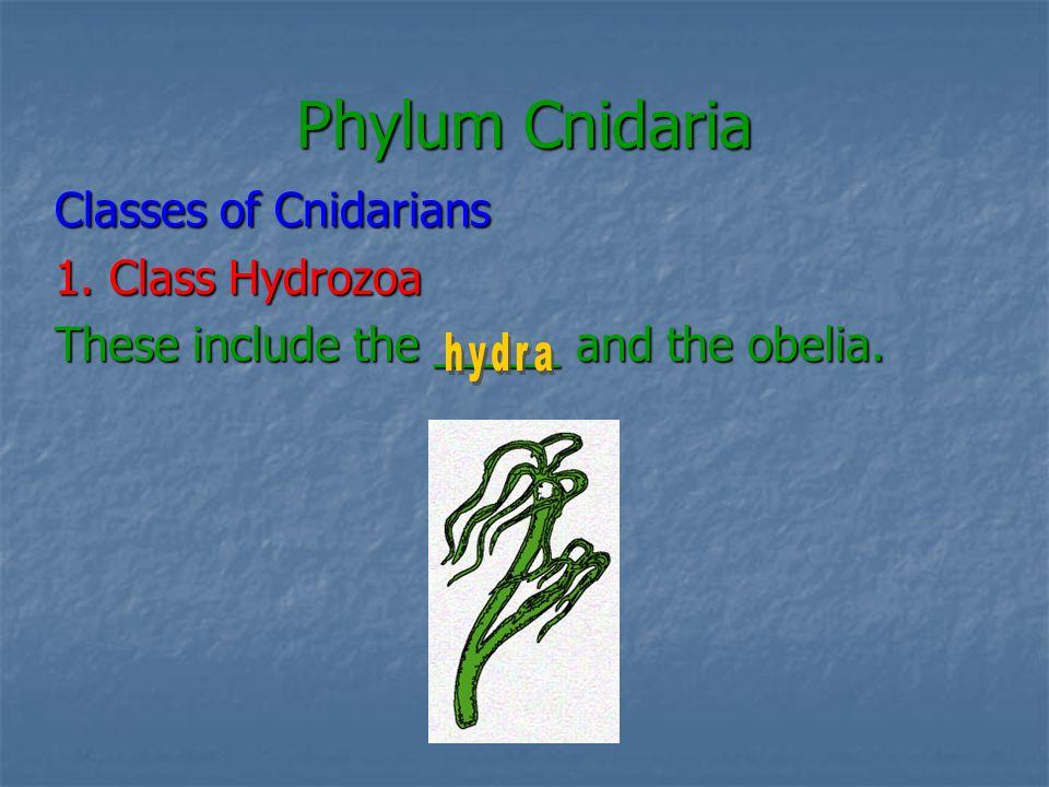 Phylum Cnidaria Classes of Cnidarians 1. Class Hydrozoa