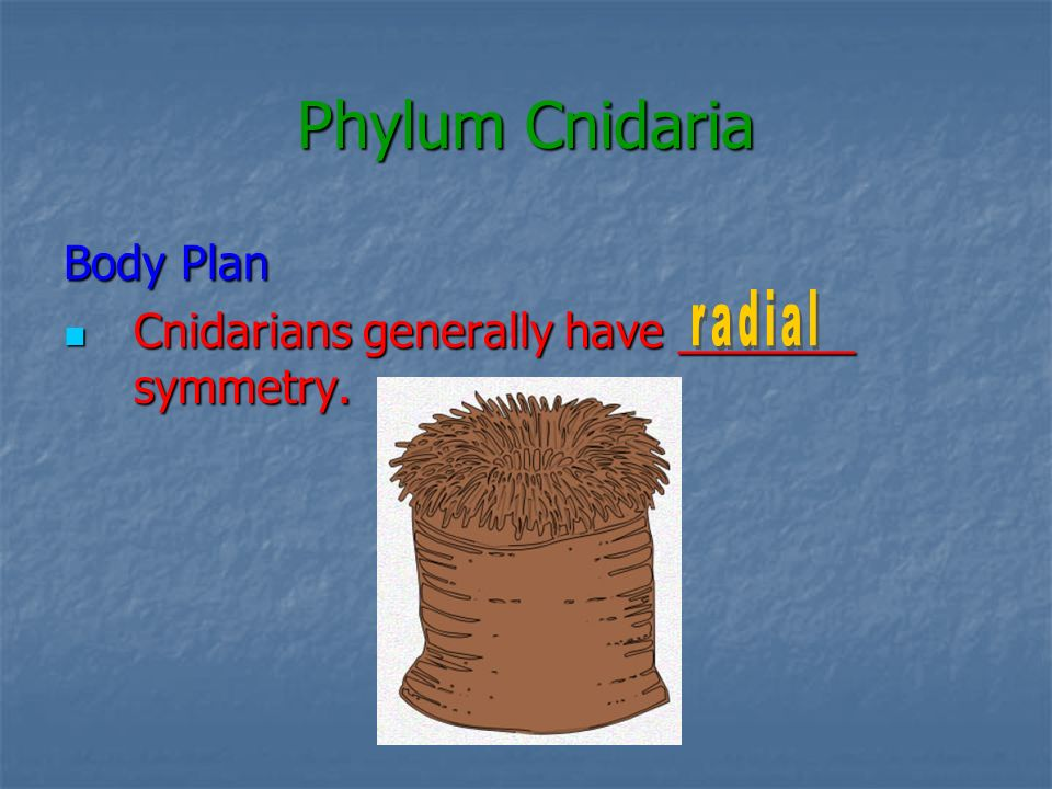Phylum Cnidaria Body Plan Cnidarians generally have _______ symmetry.