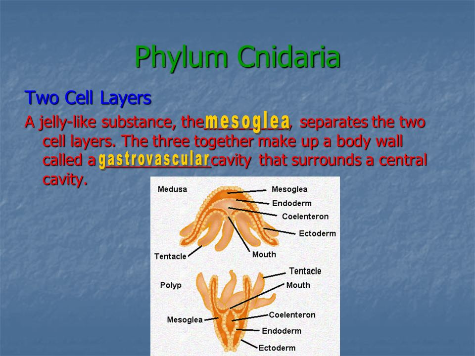 Phylum Cnidaria Two Cell Layers
