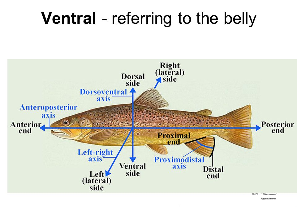 Ventral - referring to the belly