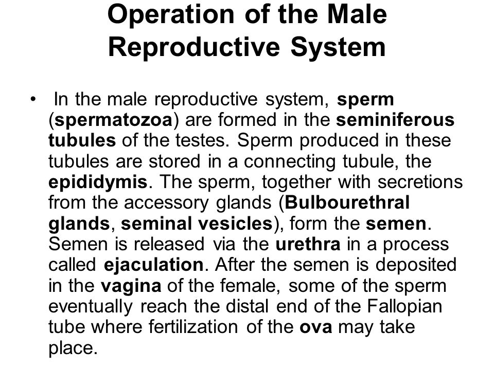 Operation of the Male Reproductive System
