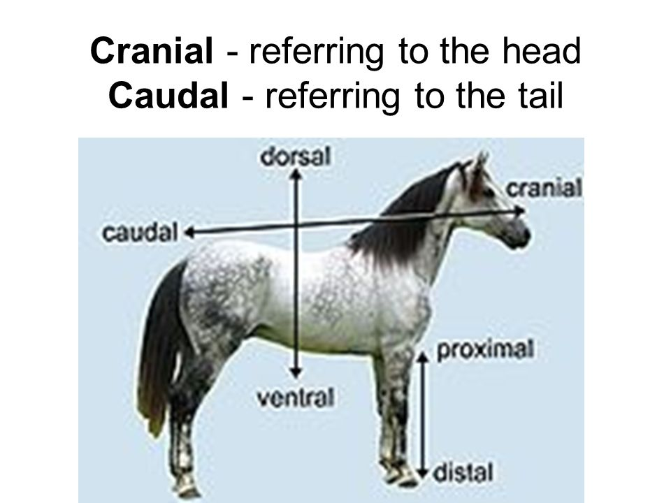 Cranial - referring to the head Caudal - referring to the tail