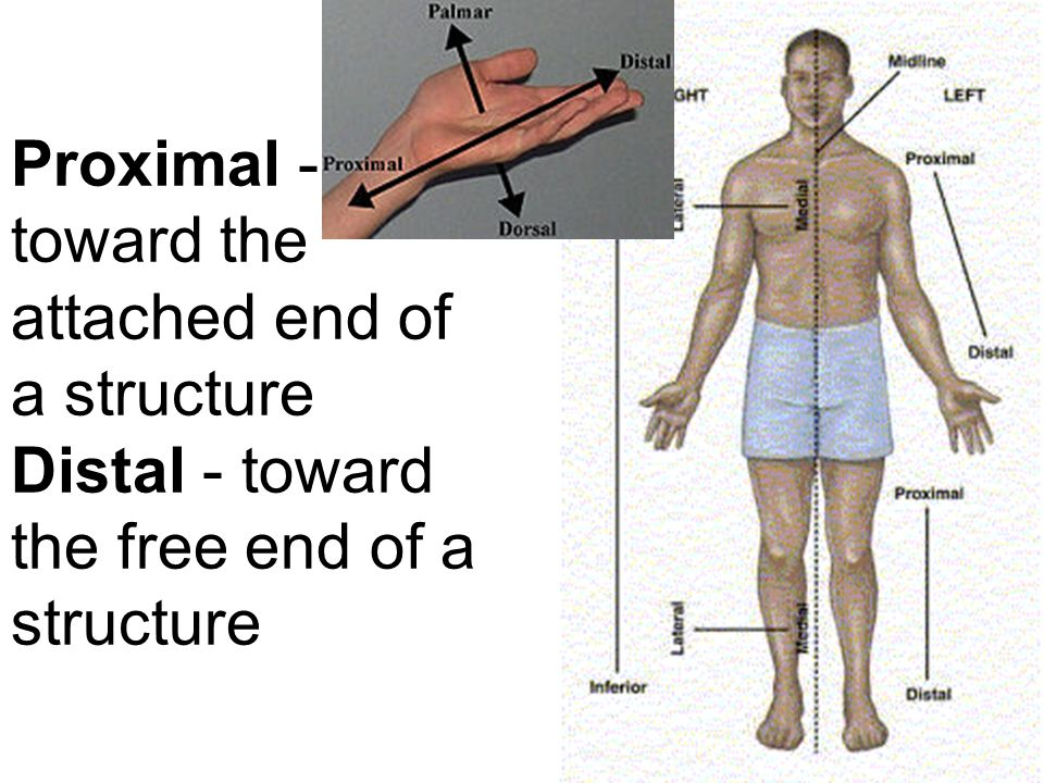 Proximal - toward the attached end of a structure Distal - toward the free end of a structure